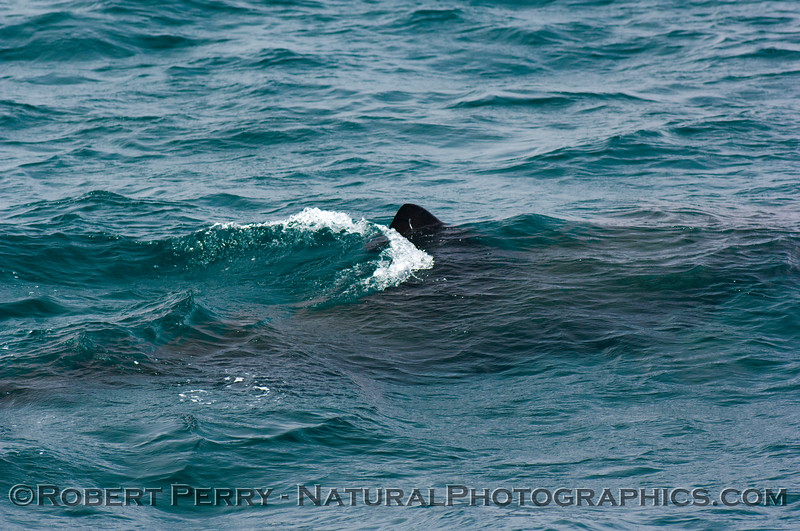 Dark body of Basking Shark in turquoise water.