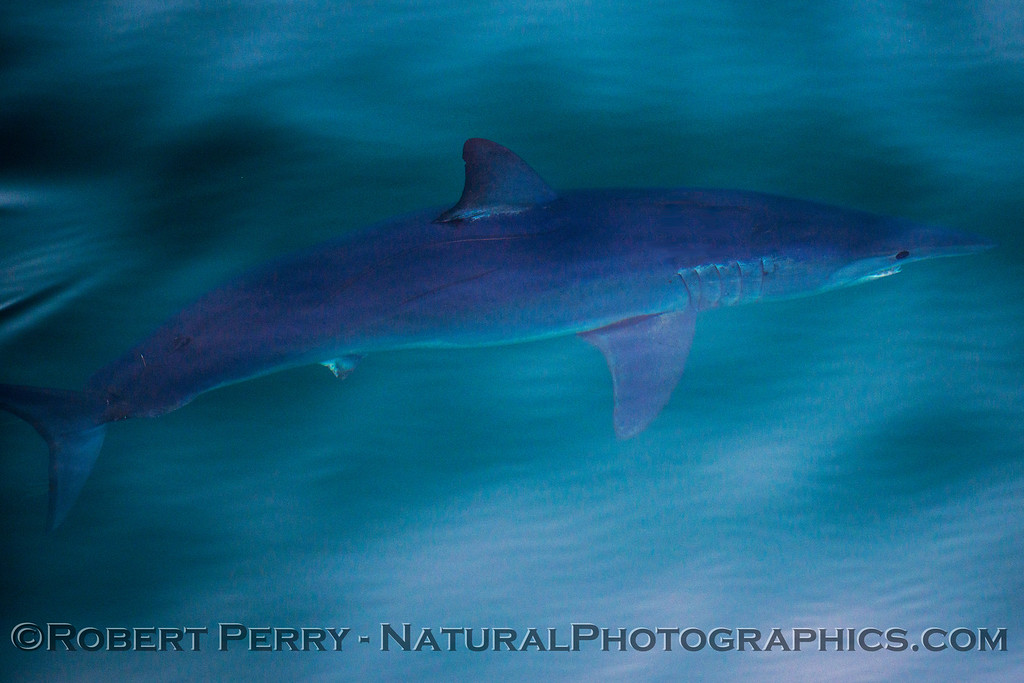 Isurus oxyrinchus Mako Shark UW 2013 07-13 SB Channel-ACS-137