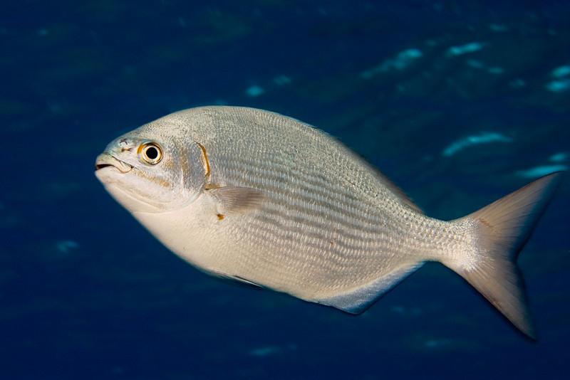 lowfin chub or nenue ( H ), Kyphosus vaigiensis, Kona, Hawaii ( Central Pacific Ocean )