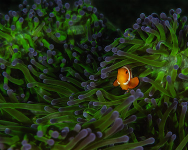 Anilao is home to a half dozen different species of clownfish. Here a juvenile ocellaris clownfish (Nemo!) hides among the tentacles of the aptly named magnificent sea anemone.   #GH5 #clownfish #clown_fish #anilao #macro #ocellaris #nemo #radianthus_magnifica #radianthus #anemone #60mm #panasonic #olympus