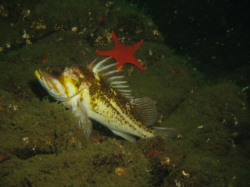 Copper Rockfish, Sebastes caurinus