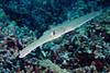coronetfish, Fistularia commersonii, Big Island of Hawaii ( Central Pacific Ocean )