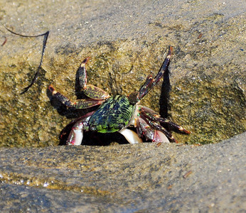 Striped Shore Crab
