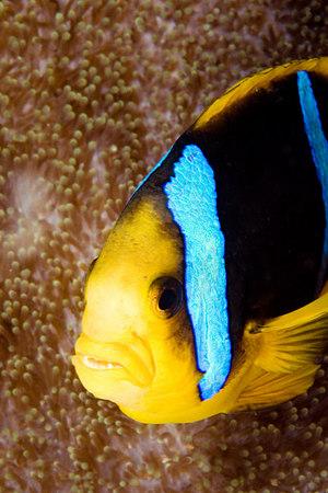Orangefin anemonefish, Amphiprion chrysopterus, Somosomo Strait, Fiji, South Pacific Ocean