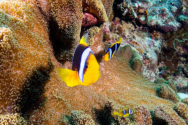 Orangefin anemonefish, Amphiprion chrysopterus, Somosomo Strait, Fiji, South Pacific Ocean