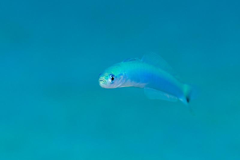 spottail or indigo dartfish, Ptereleotris heteroptera, Kona, Hawaii ( Central Pacific Ocean )