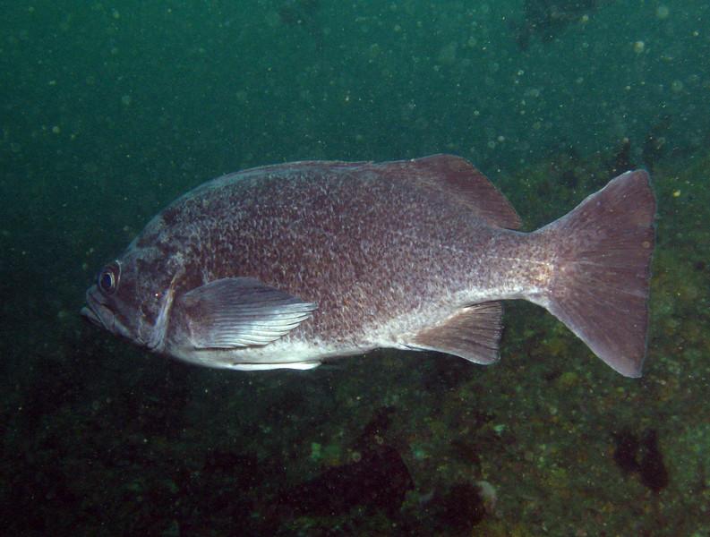 Deacon Rockfish - Sebastes diaconus