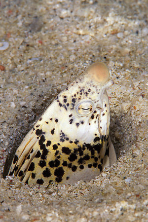 freckled snake eel or conehead eel, Callechelys lutea, or puhi (H), buried in the sand, Big Island of Hawaii ( Central Pacific Ocean )