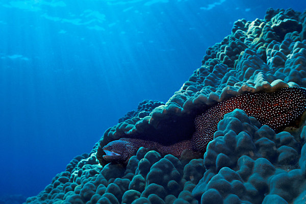 whitemouth moray eel, Gymnothorax meleagris, Big Island of Hawaii ( Central Pacific Ocean )