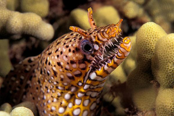 dragon moray eel, Enchelycore pardalis, Big Island of Hawaii ( Central Pacific Ocean )
