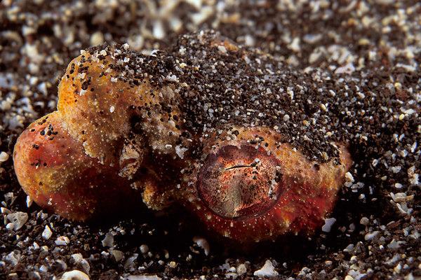 crocodile snake eel, Brachysomophis crocodilinus, or puhi (H) an ambush predator lies in wait, buried in the sand, Big Island of Hawaii ( Central Pacific <br /> Ocean )