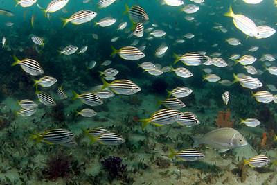Mado Atypichthys strigatus Nelson Bay, NSW