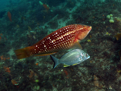 Crimson banded wrasse (female) Notolabrus gymnogenis Nelson Bay, NSW