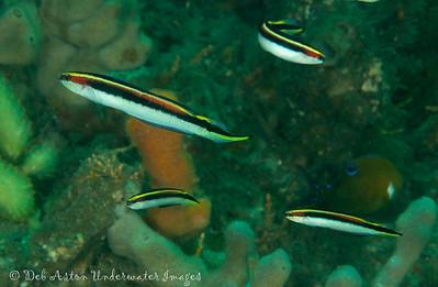 Eastern hula fish  Trachinops taeniatus  Nelson Bay, NSW