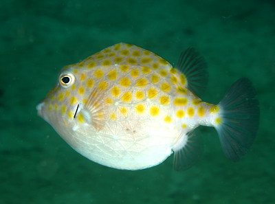 Eastern smooth boxfish Anoplocapros inermis Nelson Bay, NSW