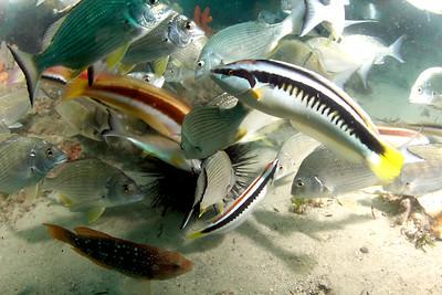Assorted fish feeding on an urchin