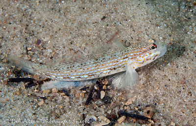 Decorated Sandgoby  Istigobius decorates Nelson Bay, NSW