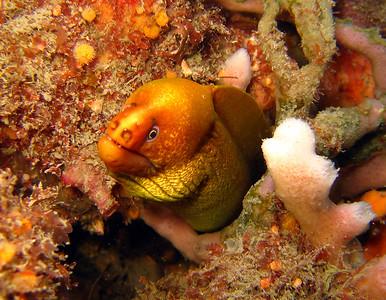Green Moray Gymnothorax prasinus Nelson Bay, NSW