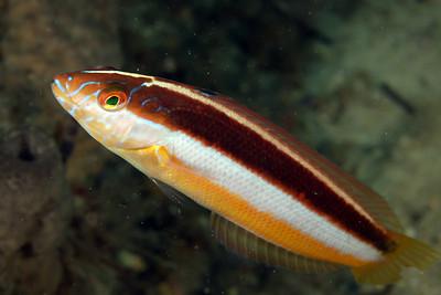 Maori Wrasse Ophthalmolepis lineolatus Nelson Bay, NSW