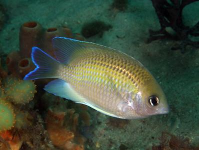 Immaculate Damsel Mecanenichthys immaculatus Nelson Bay, NSW