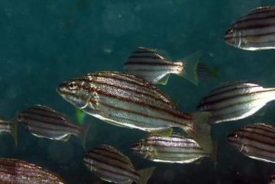 Eastern Striped Grunter Pelates sexlineatus Nelson Bay, NSW