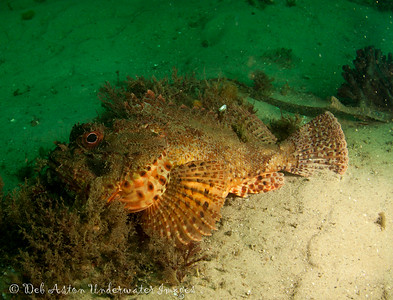 Eastern Red Scorpionfish,  Scorpaena jacksoniensis Nelson Bay, NSW