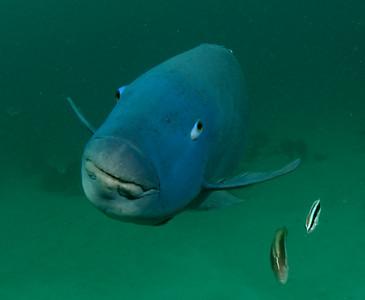 Eastern blue groper Achoerodus viridis Nelson Bay, NSW