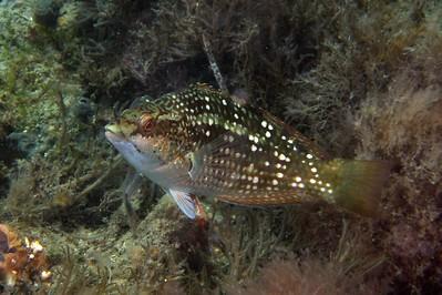 Maori wrasse  Ophthalmolepis lineolatus (female)  Nelson Bay, NSW