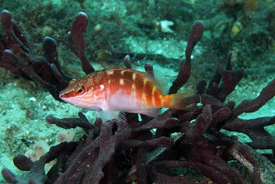 Halfbanded Seaperch  Hypoplectrodes maccullochi  Nelson Bay, NSW