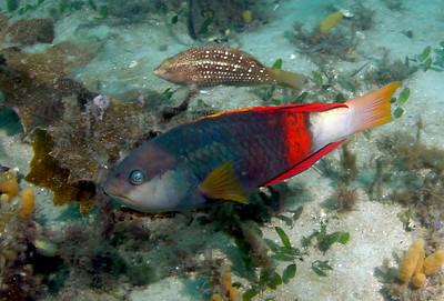 Crimson banded wrasse Notolabrus gymnogenis Nelson Bay, NSW