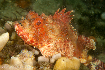 Eastern Red Scorpionfish,  Scorpaena jacksoniensis Nelson Bay, NSW