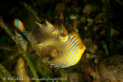 Cowfish Ornate cowfish (male) (Aracana aurita)
