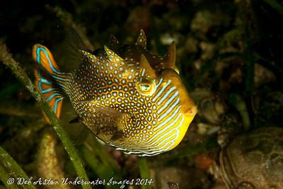Cowfish Ornate cowfish (male) (Aracana aurita)