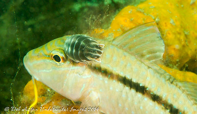 Goatfish with amiphod parasite Bluespotted Goatfish,  Upeneichthys vlamingii