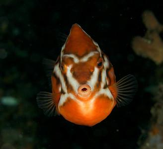Humpback boxfish Anoplocapros lenticularis