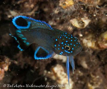 Blue Devil Southern Blue Devil juvenile Paraplesiops meleagris
