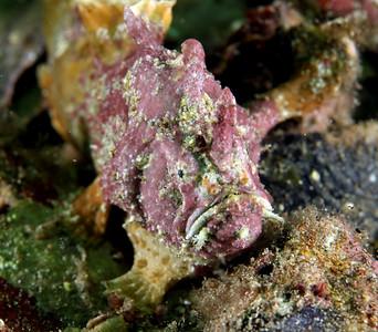 Anglerfish Whitespotted Anglerfish (Phyllophryne scortea)