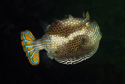 Cowfish (Aracana aurita) - male