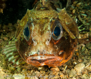 Gurnard Common gurnard perch, (Neosebaste scorpaenoides)