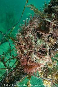Anglerfish Tasselled Anglerfish - Rhycherus filamentosus Tasselled Anglerfish
