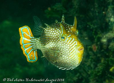 Cowfish Cowfish (Aracana aurita) - male