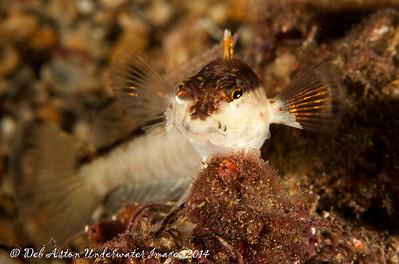 Grubfish Wavy Grubfish, Parapercis haackei