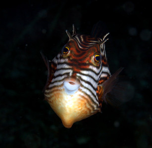 Cowfish (Aracana aurita) - female