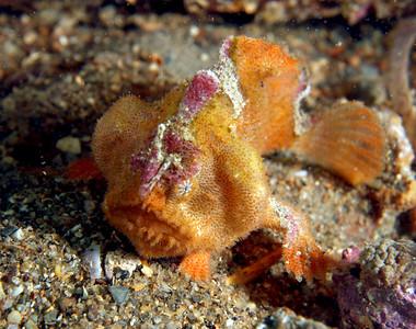 Anglerfish Prickly Anglerfish, (Echinophryne crassispina)
