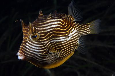 Cowfish (Aracana aurita) - female