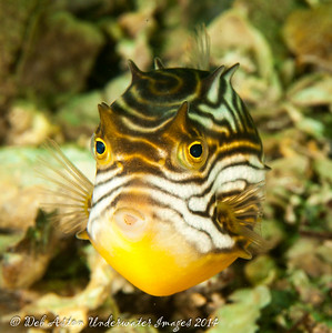 Cowfish Cowfish (Aracana aurita) - female