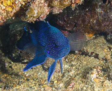 Blue Devil Southern Blue Devil Paraplesiops meleagris