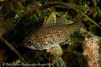 Cardinalfish Southern Cardinalfish  Vincentia conspersa