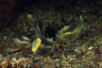 Cowfish (Aracana aurita) - gathering