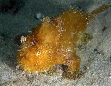 Anglerfish Striate Anglerfish  Antennarius striatus  Gold Coast Seaway